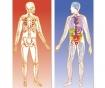 100-delna sestavljanka Human Body